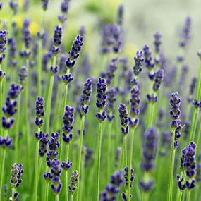 Known for its relaxing fragrance, it's no surprise that lavender helps reduce blood pressure. In addition to the fragrance, lavender leaves and flowers can be used in cooking.