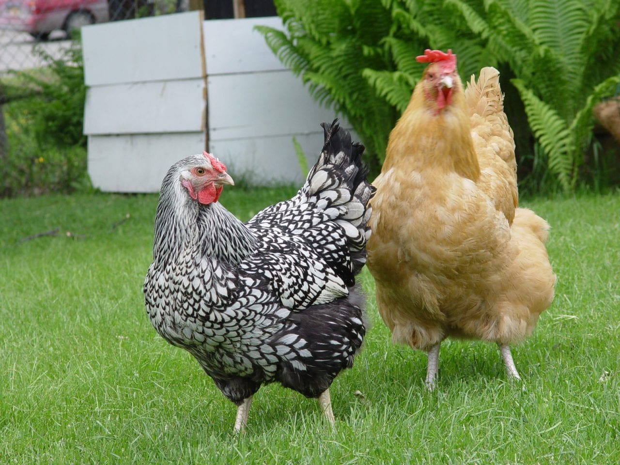 """Anchorage chickens"" by mazaletel - Flickr: the ladies. Licensed under CC BY 2.0 via Commons - https://commons.wikimedia.org/wiki/File:Anchorage_chickens.jpg#/media/File:Anchorage_chickens.jpg"